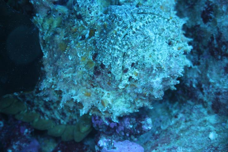 Рыба-камень анфас