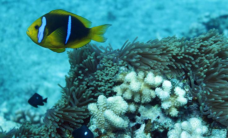 Анемон, вариации. III (рыба-клоун в профиль)-Таити-Туамоту