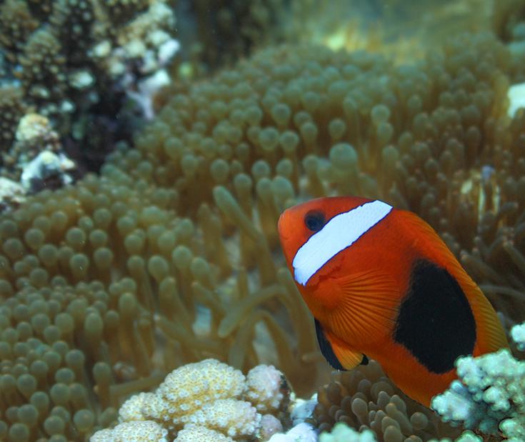 Анемон. Новая Каледония