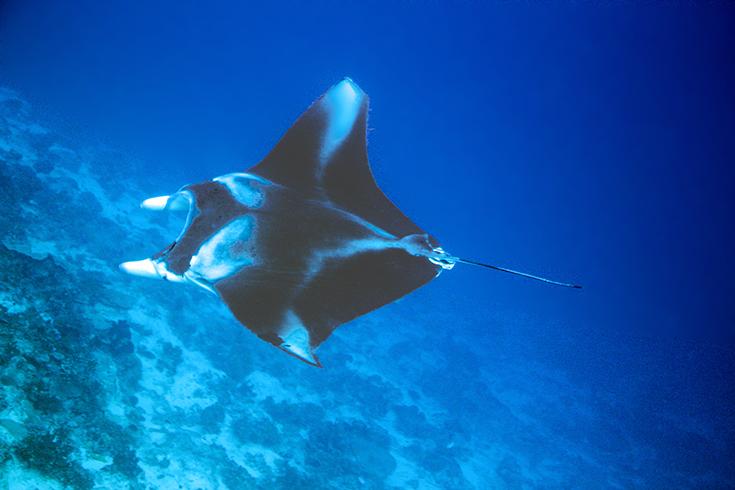 Скат Манта. Подводные учебные фотосессии. Новая Каледония - Туамоту