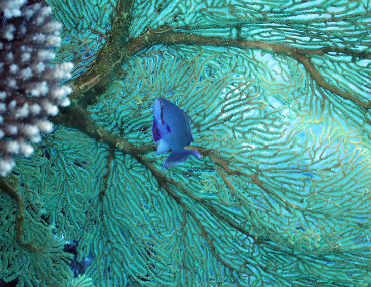 Коралл, рыба-цирюльник, горгония (Новая Каледония, залив Poindimie, сайт Barjibanti)