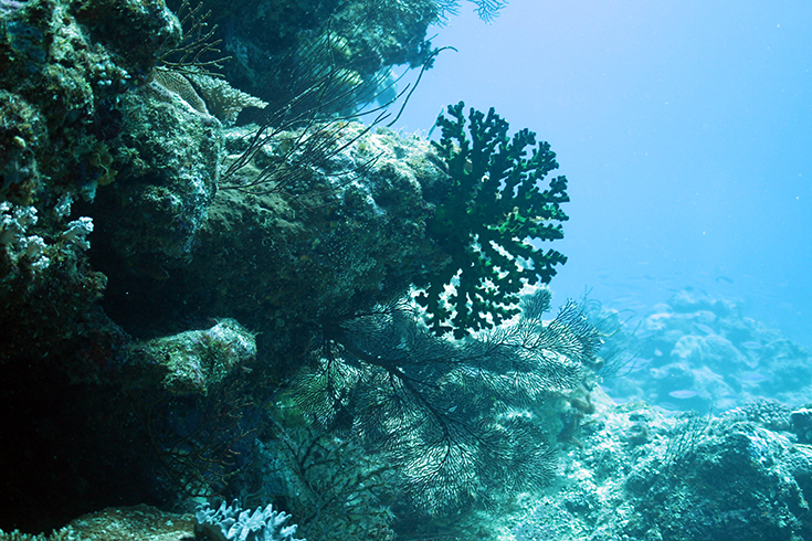 Новая Каледония, залив Poindimie, сайт Barjibanti, ландшафт с горгониями II, июль 2014