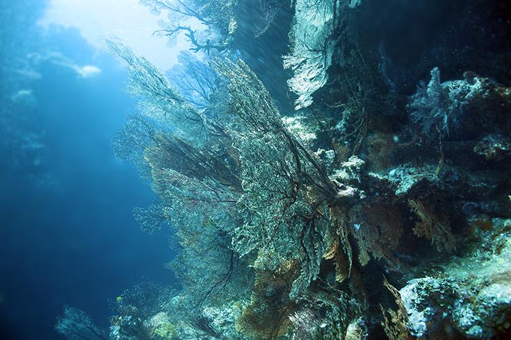 Новая Каледония, залив Poindimie, сайт Barjibanti, ландшафт с горгониями III, июль 2014