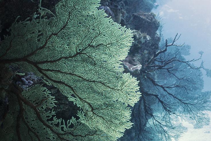 Новая Каледония, залив Poindimie, сайт Barjibanti, ландшафт с горгониями V, июль 2014