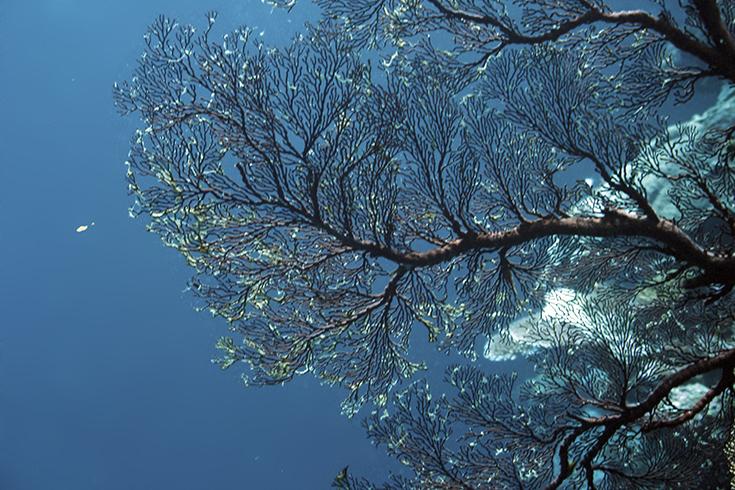 Новая Каледония, залив Poindimie, сайт Barjibanti, лист горгонии II, июль 2014