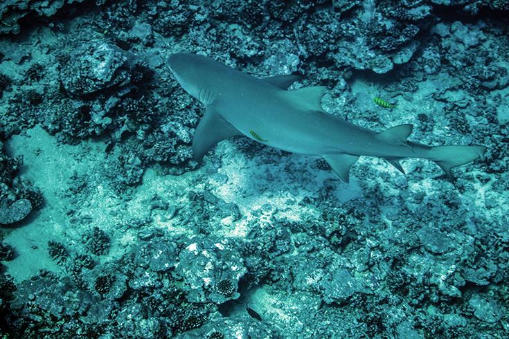 Остров Моореа, у входа в залив Опуноху. Лимонная акула II