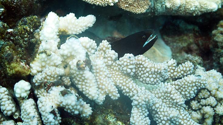 Желтопёрая мурена, остров Реюньон