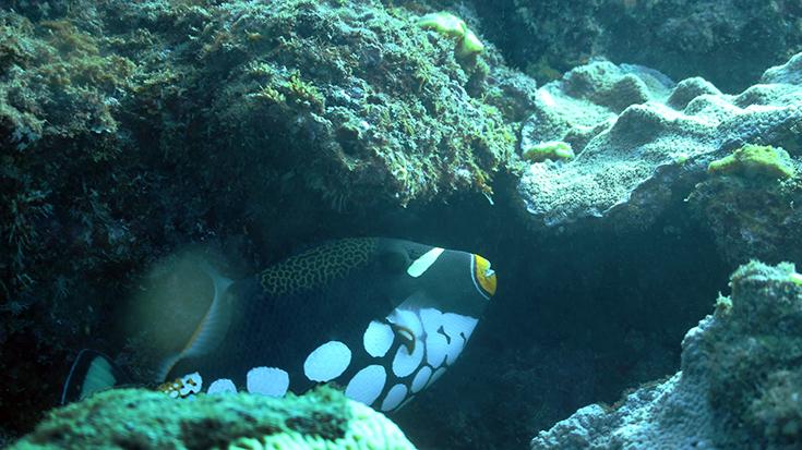 Крупнопятнистый спинорог (Balliste clown, Clown triggerfish, Balistoides conspicillum)