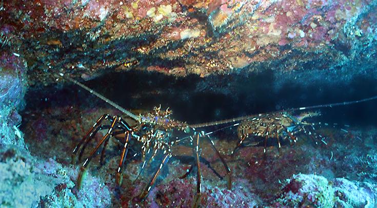 Гигантские лангусты в щели. Подводные фотографии, остров Реюньон