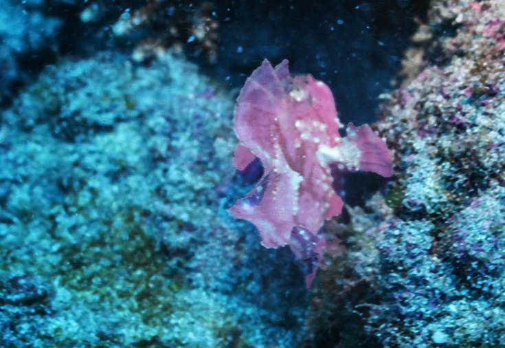 Poisson feuille (рыба-лист, франц.), Monocirrhus polyacanthus острова Реюньон