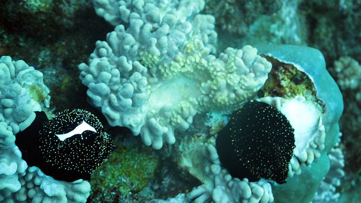 Обыкновенная овула, остров Реюньон
