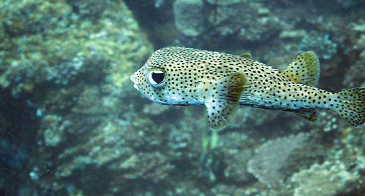 Рыба-еж; Poisson porc-epic, Porcupine fish, Diodon hystrix