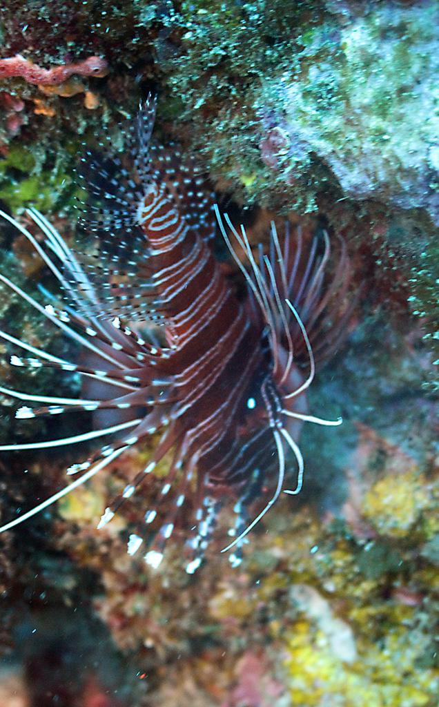 Лучистая крылатка, Radial firefish, Pterois radiata