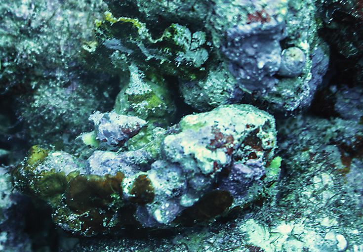 Рыба-лист,  Poisson feuille, Monocirrhus polyacanthus