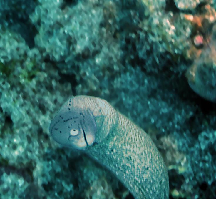 Татуированная мурена, остров Реюньон