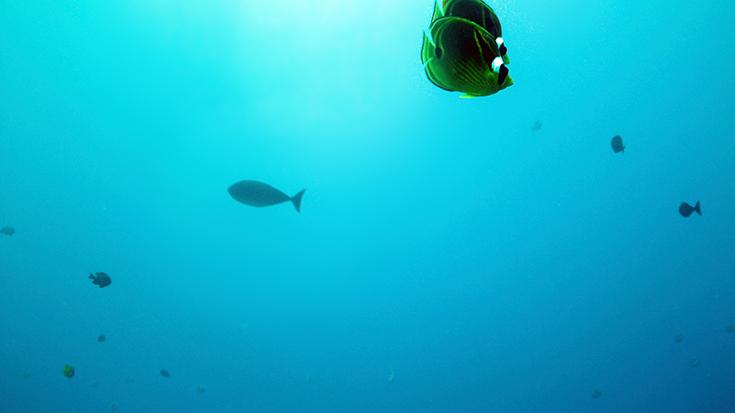 Рыбы-бабочки. Остров Реюньон